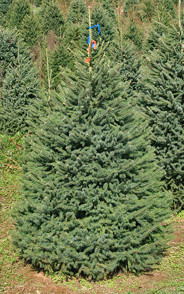 Black Hill Spruce