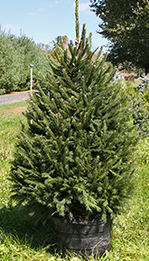 Norway Spruce (Potted)